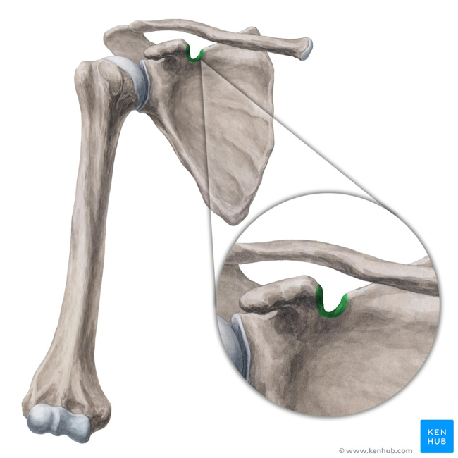 Test your knowledge: anatomy of the suprascapular notch