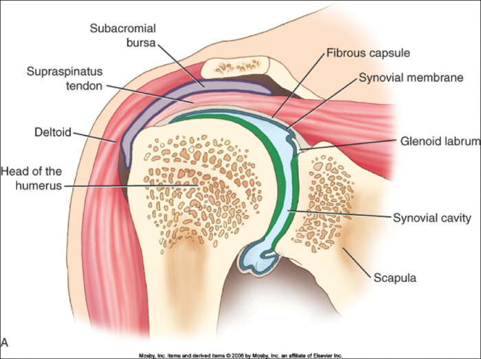 Supraspinatus and Deltoid: not just two arm elevators?