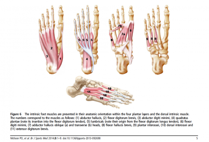 Coordination of foot muscles during walking